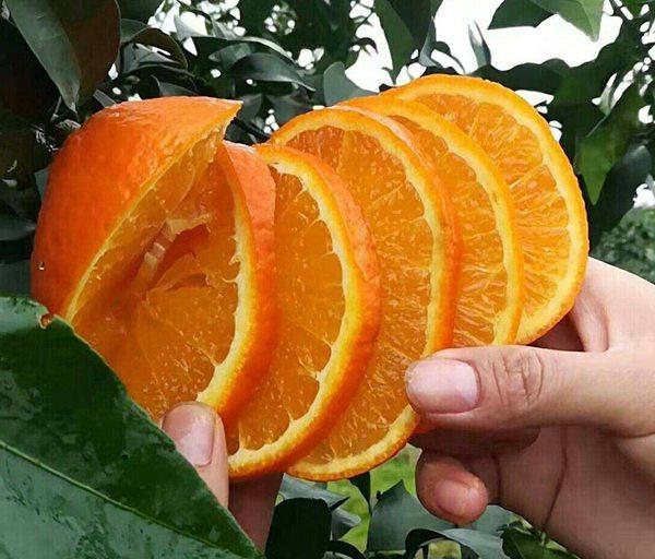 要种好爱媛38果冻橙真的不是一件轻松的事情