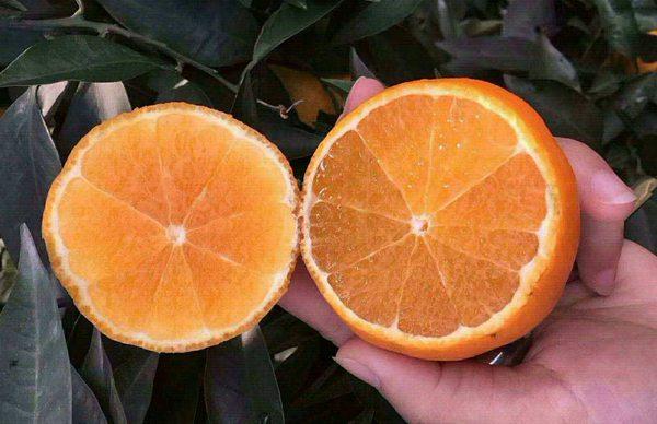 """这么好吃的「爱媛38号」柑橘来自被誉为""""中国鲜橙之乡""""的四川眉山"""