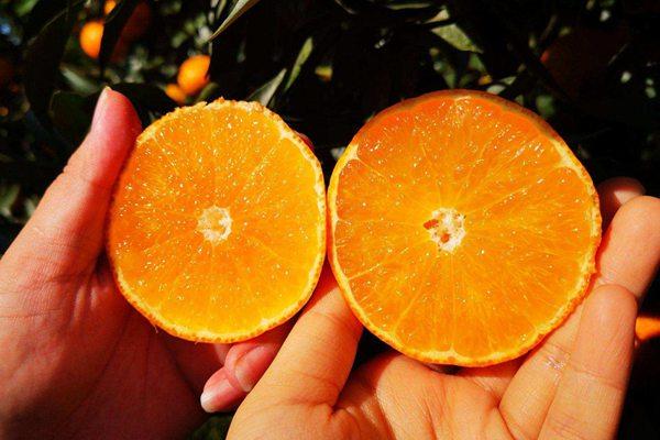 爱媛38红美人柑橘采摘