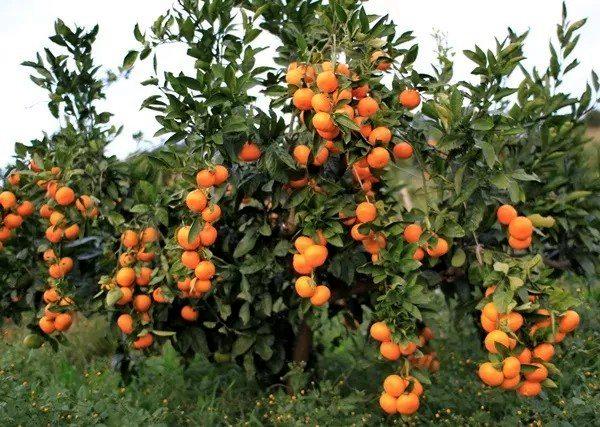 爱媛38柑橘在四川新津的丑柑采摘园