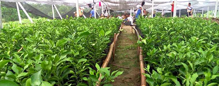 蒲江重点发展丑柑为主的晚熟柑桔品种