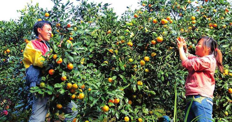 蒲江鹤山:打造全域有机柑橘示范基地