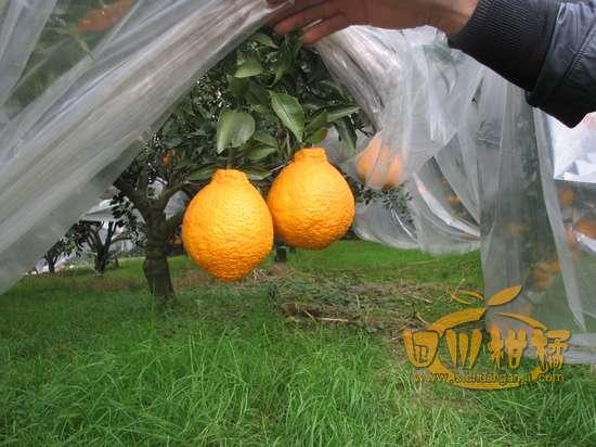 不知火柑橘已经开始批量供应了,欢迎预定,电话13881912154
