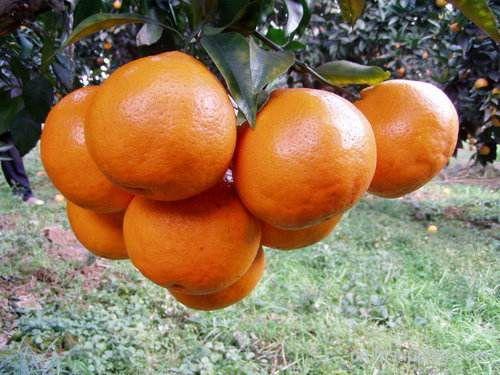 春见粑粑柑成了四川人春天饭前饭后的必备水果