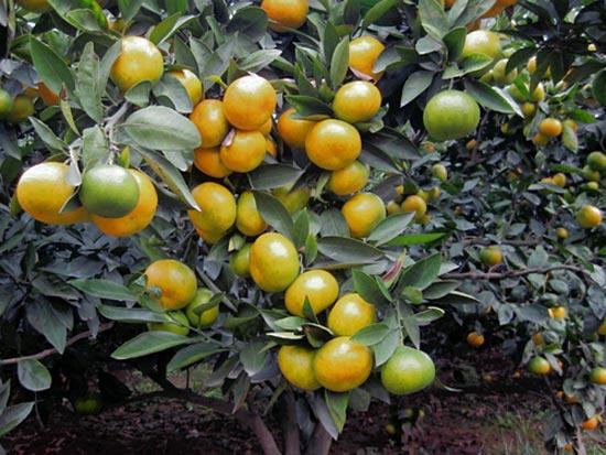 特早蜜橘,早熟蜜橘