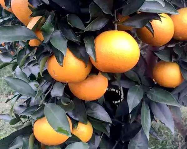 怎样让爱媛果冻橙销售利益最大化